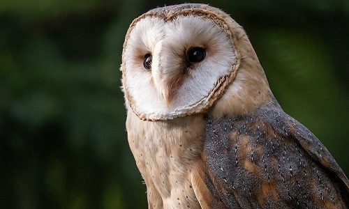 United Airlines and Audubon International Team Up to Save Owls in San Francisco